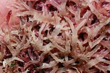 石花菜的做法