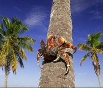 【椰子蟹多少钱一斤】椰子蟹能吃吗_椰子蟹怎么吃