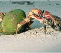 【椰子蟹好吃吗】椰子蟹怎么吃_椰子蟹的营养价值