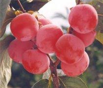 【柿子吃多了怎么办】柿子不能与什么水果同吃_柿子怎么催熟