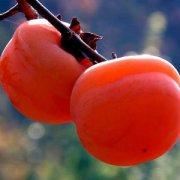 【柿子的功效】柿子不能喝什么同吃_柿子吃多会结石吗