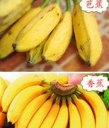 【香蕉和芭蕉的区别】香蕉和芭蕉哪个好_香蕉和芭蕉的营养